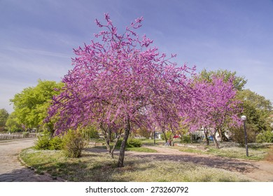 redbud tree sping background