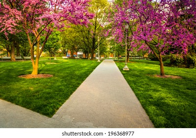 Redbud trees along a path at the Capitol Complex in Harrisburg, Pennsylvania.