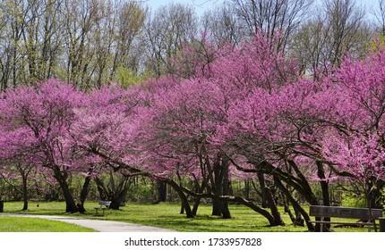 Redbud trees in full bloom