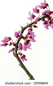 Redbud twig with blossoms isolated on white