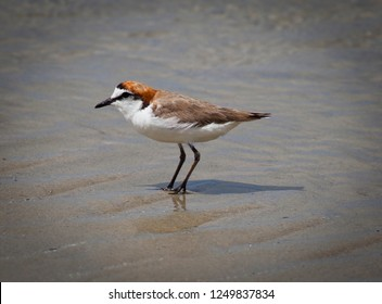 Red-capped Plover aka Red-capped dotterel. Small bird seen searching beach in Daintree, Queensland Australia.