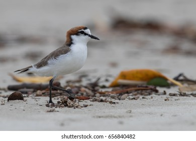 Red-capped plover (Charadrius ruficapillus) on the beach at Daintree National Park, Queensland, Australia.