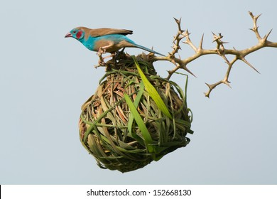 A Red-Cheeked Cordon Bleu investigates an occupied vitelline weaver nest