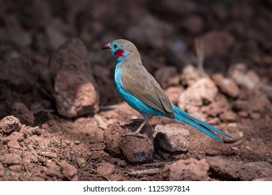 Red-cheeked cordon-bleu perched on stones in sunshine