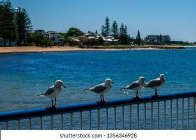 Redcliffe, Queensland, Australia 3/31/2019: closeup of four seagulls perched on the railing of the pagola at the Redcliffe Jetty with a calm moreton bay and Redcliffe beachfront in the background