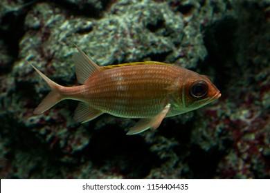 Redcoat squirrelfish (Sargocentron rubrum).