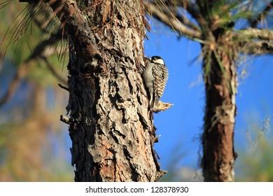 Red-cockaded Woodpecker (Picoides borealis) in Florida,America
