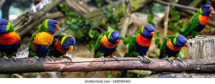 The red-collared rainbow lorikeet flock (Trichoglossus rubritorquis) is a species of parrot found in wooded habitats in northern Australia.
