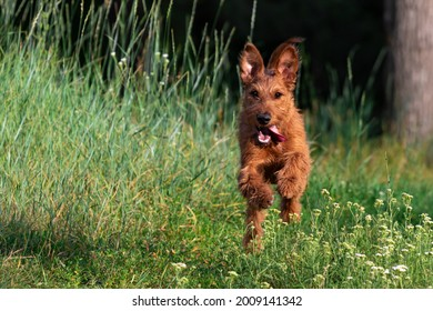 A red-colored Irish Terrier puppy dog funny runs on the grass in the woods for a walk in nature outside the city. Walking a pet off a leash in the park in summer, copy space.