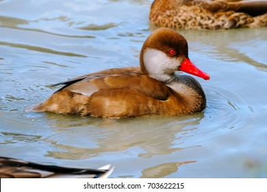 """The red-crested pochard (Netta rufina) is a large diving duck. The scientific name is derived from Greek Netta """"duck"""", and Latin rufina, """"golden-red"""" (from rufus, """"ruddy"""")."""