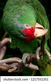 Red-crowned Amazon (Amazona viridigenalis) in aviary, Los Angeles, California, USA