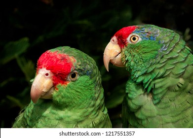 Red Headed Mexican Images, Stock Photos & Vectors | Shutterstock