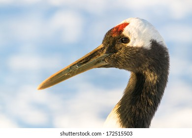 Red-crowned crane closeup portrait