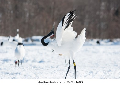 Red-crowned crane displaying