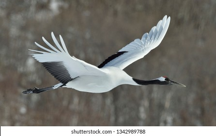 The red-crowned crane in flight. Winter forest background. Scientific name: Grus japonensis, also called the Japanese crane or Manchurian crane.