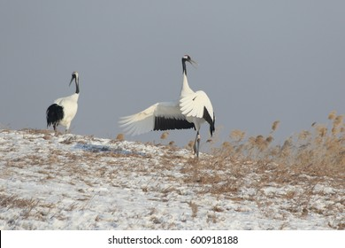 The red-crowned crane (Grus japonensis), also called the Japanese crane or Manchurian crane, is a large East Asian crane and among the rarest cranes in the world.