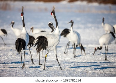 Red-crowned crane, Grus japonensis, dancing and flying in arctic winter environment at Kushiro, Hokkaido, Japan Wildlife preserve