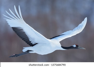 Red-crowned Crane (Grus japonensis) flying at Tsuri, Hokkaido Island, Japan