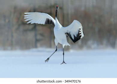 Red-crowned crane, Grus japonensis, flying white bird with open wings, with snow storm, winter scene from Hokkaido, Japan.