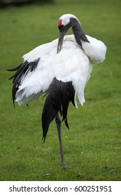 Red-crowned crane (Grus japonensis), also known as the Japanese crane or Manchurian crane.