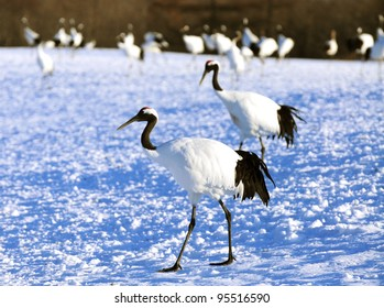 Red-crowned crane (Grus japonensis) at Kushiro Shitsugen National Park, Japan
