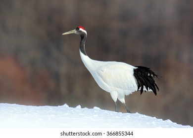 Red-crowned crane, Grus japonensis, white bird with snow, winter scene from Hokkaido, Japan.
