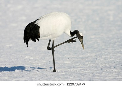 Red-crowned Crane (Grus japonensis) wintering in Hokkiado, Japan. It is known as a symbol of luck, longevity, and fidelity.