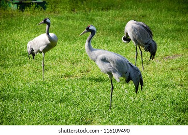 red-crowned crane (Grus grus) on green grass