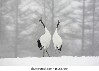 Red-crowned crane or japanese crane, Grus japonensis, displaying,  Hokkaido, Japan, winter