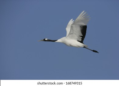 Red-crowned crane,  Japanese crane, Grus japonensis, single bird in flight,  Japan