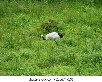 Red-crowned crane looking for food in the meadow