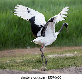 red-crowned crane spread wings