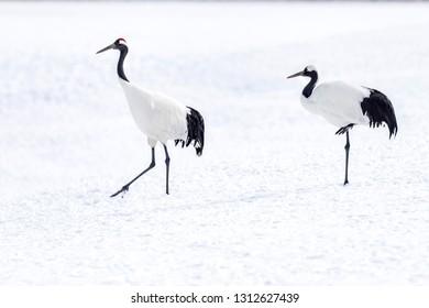 The Red-crowned Crane in Tsurui Ito Tancho Crane Senctuary of Hokkaido, Japan.