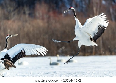 The Red-crowned Crane in Tsurui Ito Tancho Crane Senctuary of Hokkaido, Japan.