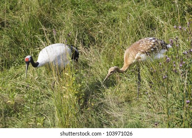 Red-crowned Crane with young birds on a meadow