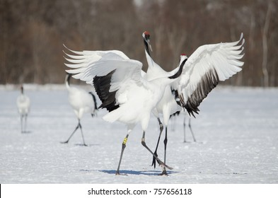 Red-crowned cranes dancing