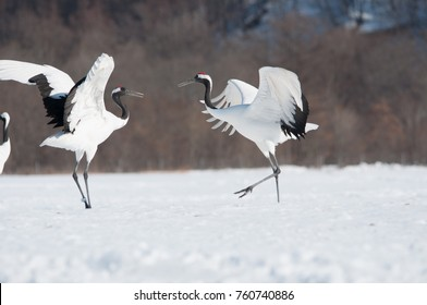Red-crowned cranes dancing in Akan, Kushiro city, Hokkaido Japan.