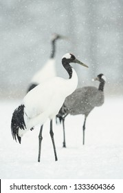 The red-crowned cranes and Eurasian crane. Scientific name: Grus japonensis, also called the Japanese or Manchurian crane, is a large East Asian Crane.  Eurasian or common crane (Grus grus)