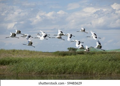 Red-crowned cranes flying in the sky