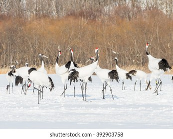 Red-crowned Cranes in winter snow filed, Kushiro, Hokkaido, Japan