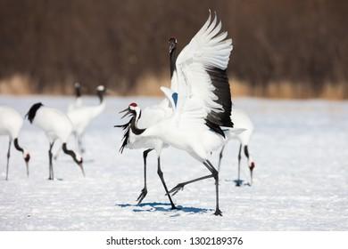 Red-crowned (Grus japonensis or Manchurian) Tango crane bird dancing on snow and flying in Kushiro, Hokkaido island, Japan in winter season