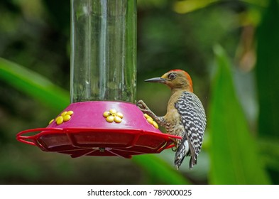 A red-crowned woodpecker, latin name Melanerpes rubricapillus, feeding from some nectar left in the rainforest of Tobago, Trinidad and Tobago.