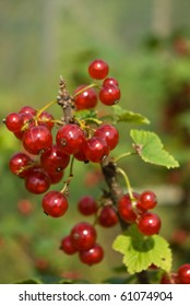 Redcurrant (Ribes rubrum) berries and leaves