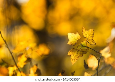Redcurrant (Ribes rubrum) leaves in autumn colors. Selective focus and shallow depth of field.