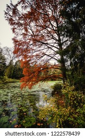 Red-cypress or Swamp cypress