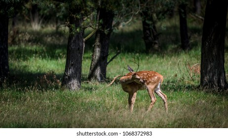 Reddeer fawn in the forest