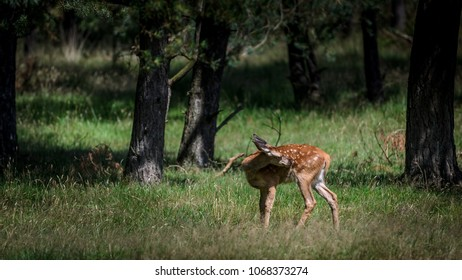 Reddeer fawn standing in the forest