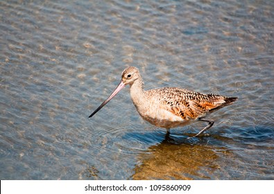 Reddish brown Marbled Godwit bird at Bolsa Chica Wetlands in Huntington Beach California, wading in the water, foraging for food.  Long legged shorebird. Long upturned two color bill.