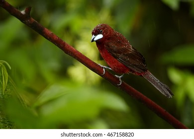 Reddish colored Silver-beaked Tanager, Ramphocelus carbo, south american songbird,  perched on twig in rain, waterdrops on feather, against wet leaves of ecuadorian rainforest. Ecuador, Wild Sumaco.