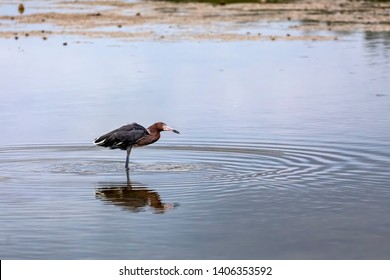 A reddish egret catches a small fish while wading the shallows of Ding Darling National Wildlife Refuge on Sanibel Island, Florida.